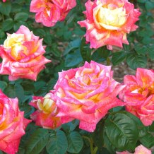 Growing-Roses-South-Central-1.jpg