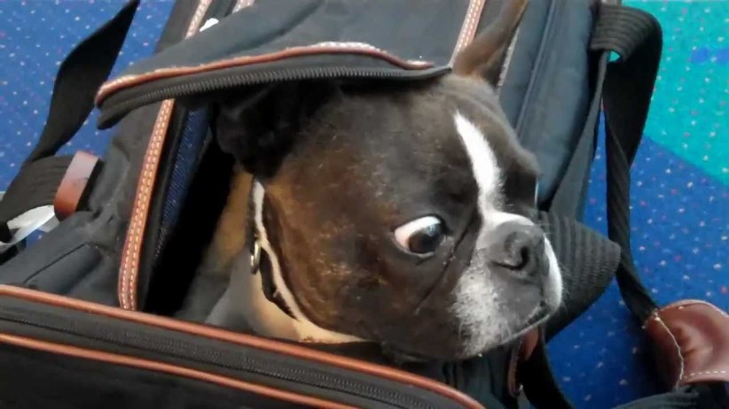boston terrier in carry on.jpg