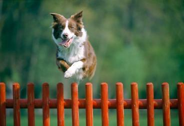 dog jumping fence.JPG