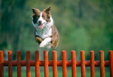 dog jumping fence.JPG